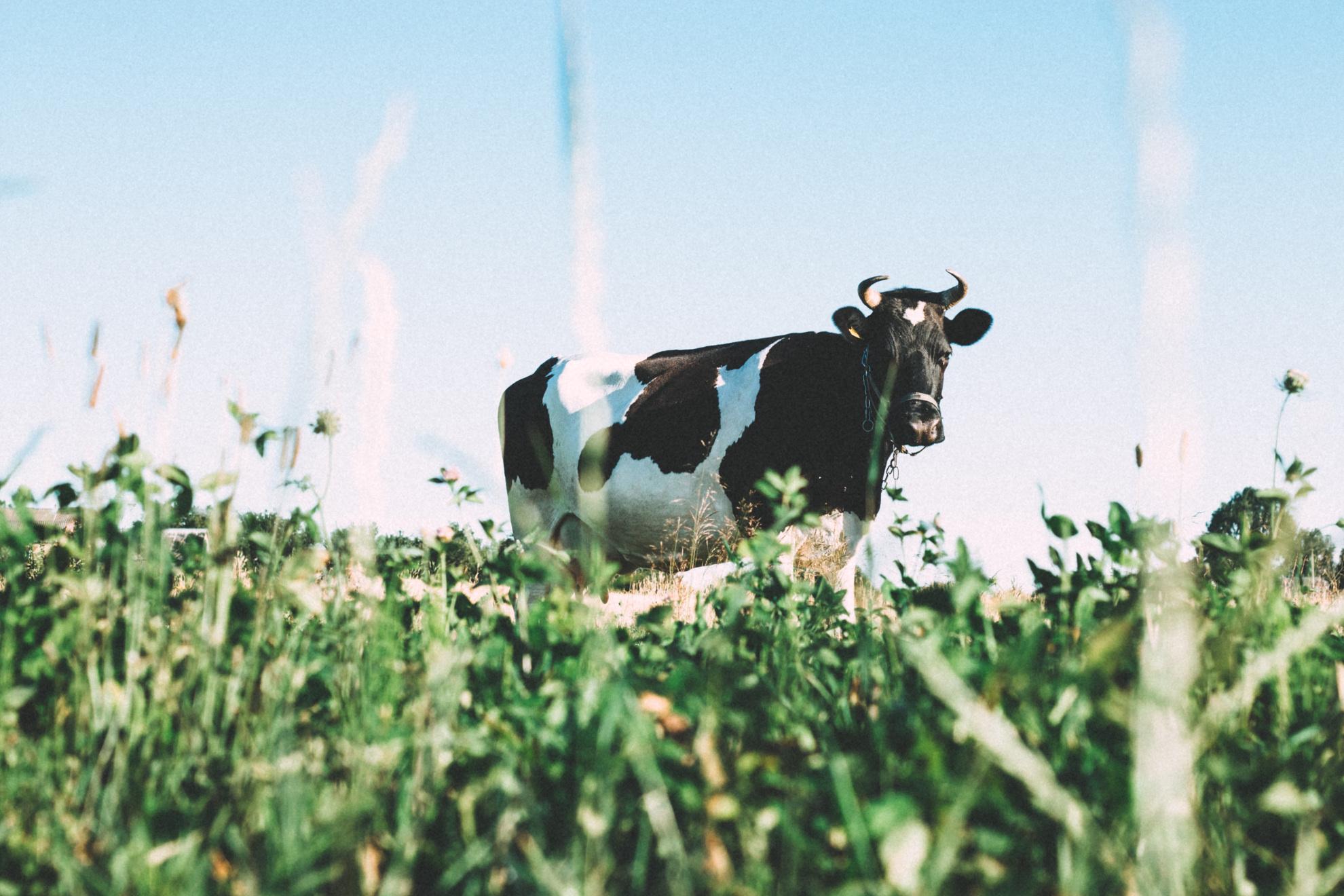 krowa.jpg