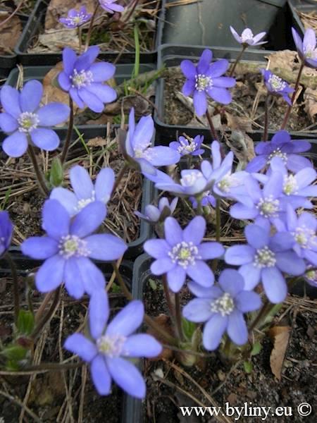 Hepatica nobilis p9