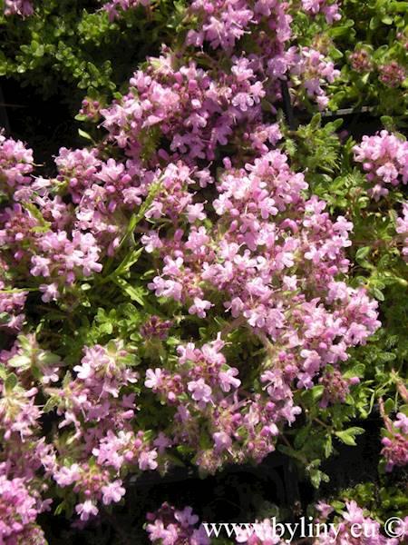 Thymus pygmeus p9