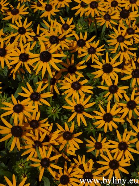 Rudbeckia fulgida Little Goldstar ® C1,5