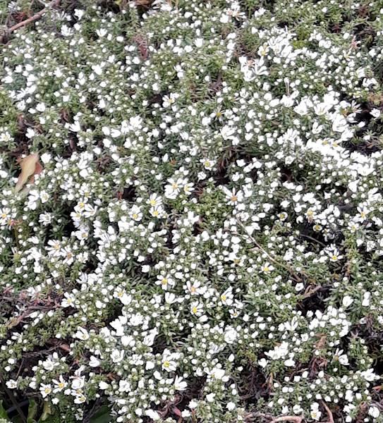 Aster ericoides Snowflurry C1,5