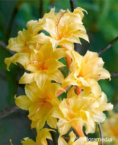 Azalia wielkokwiatowa Narcissiflora