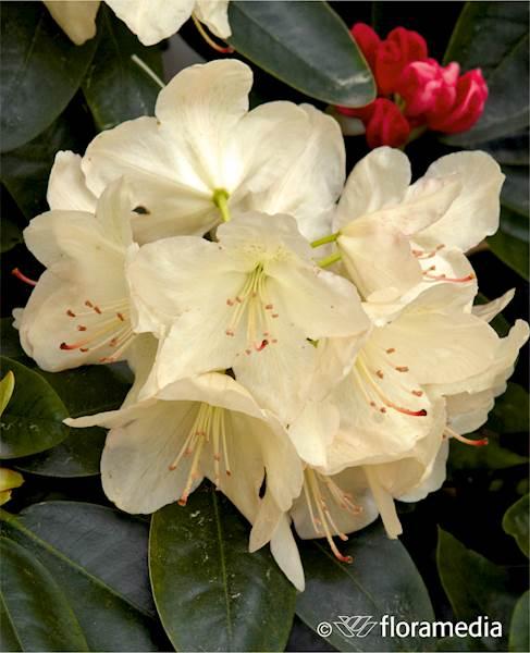 Różanecznik Lachsgold