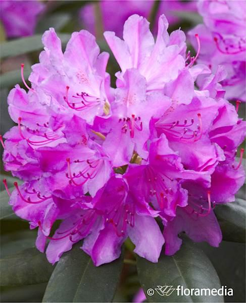 Różanecznik Roseum Elegans
