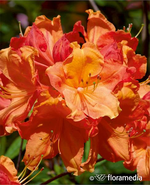 Azalia wielkokwiatowa Glowing Embers