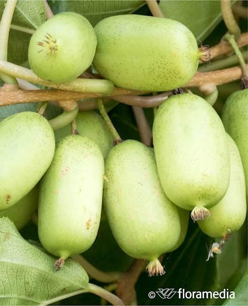Aktinidia ostrolistna (Mini Kiwi) Jumbo